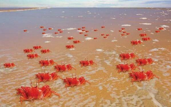 Red Ghost Crabs appears in lakhs along Puri coast, Chilika