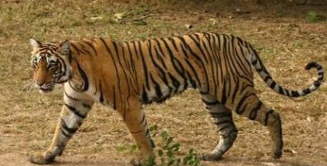 Tiger census in Odisha to start from Feb 5