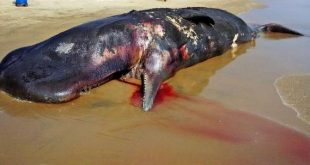 Carcass of 33 ft sperm whale found along Odisha coast