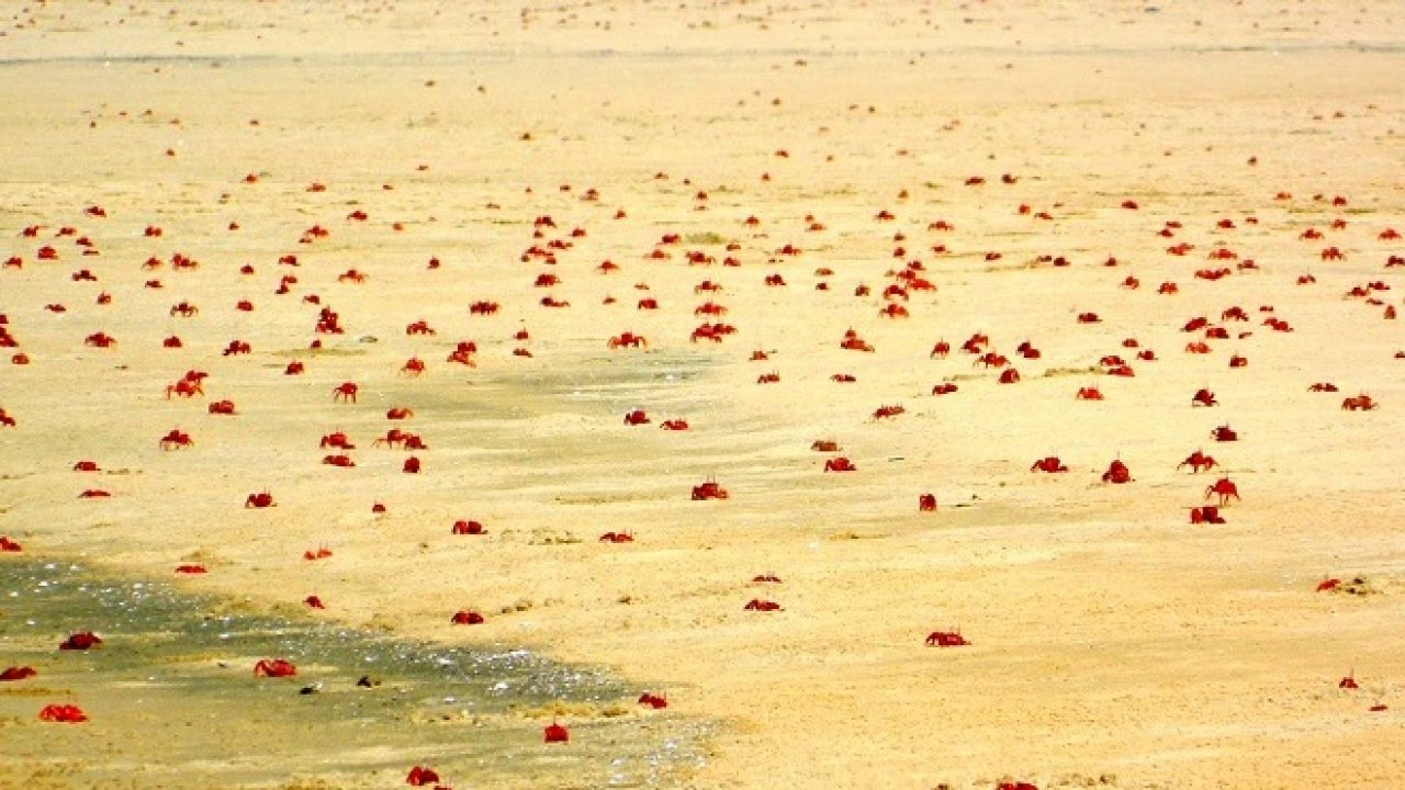 Red crabs during low tide