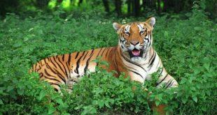 Satkosia Tiger Reserve Faces Big Cat Extinction