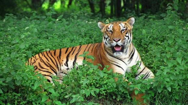 Satkosia Tiger Reserve Faces Big Cat Extinction