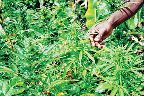 Hemp, Cannabis, Liquor Worth Rs 467.53 Cr Seized In Odisha