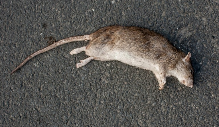 Rodents, Cats, Snakes Found Dead In Kendrapada