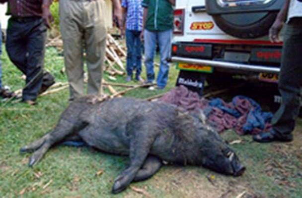 Wild Boar Lynched To Death For Attacking Old Man In Kendrapada