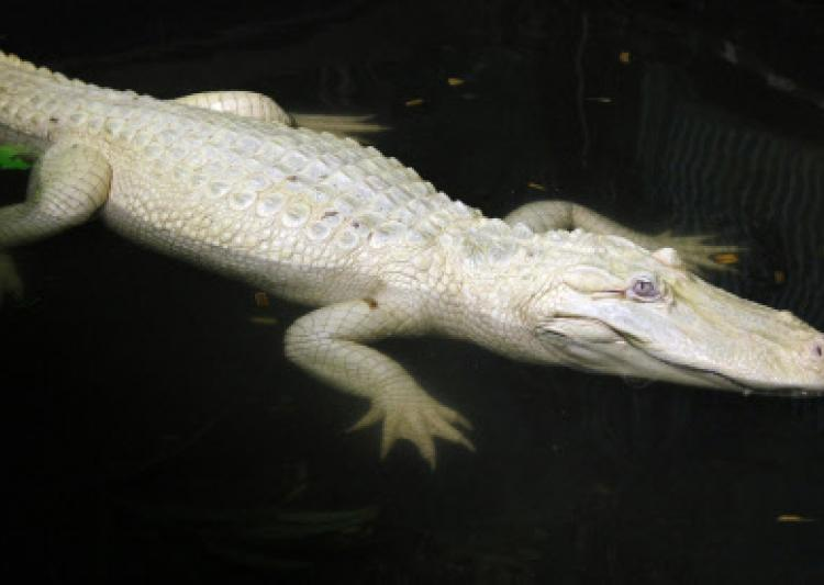 India's Only White Crocodile Gori's Eggs Fail To Hatch Again
