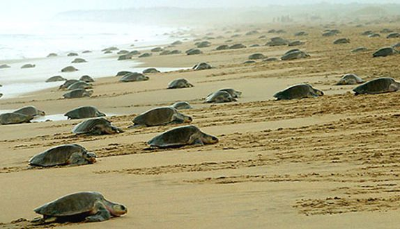 olive-ridley-turtles conservation