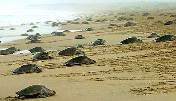 olive-ridley-turtles conservation