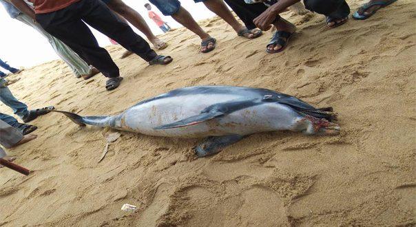 Dolphin carcass at Budhabalang river