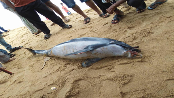 Dolphin carcass at Budhabalang river