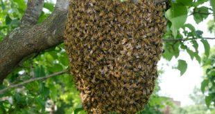 Honey bee attack