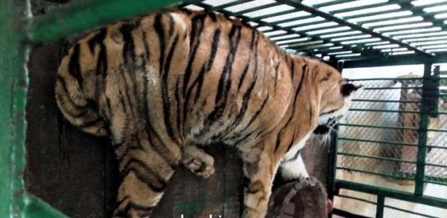 Tigress Rebati dies at Nandankanan Zoological Park