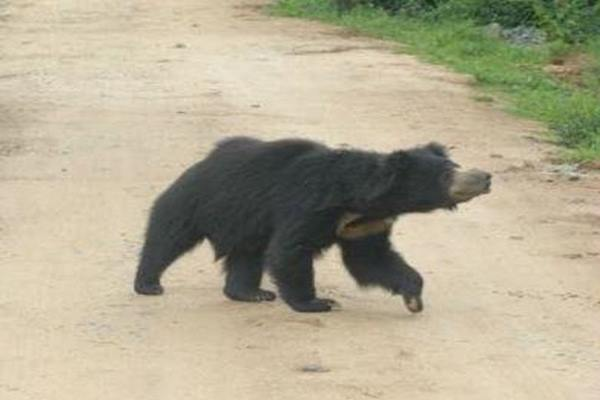 Two villagers critical in wild bear attack in Ganjam
