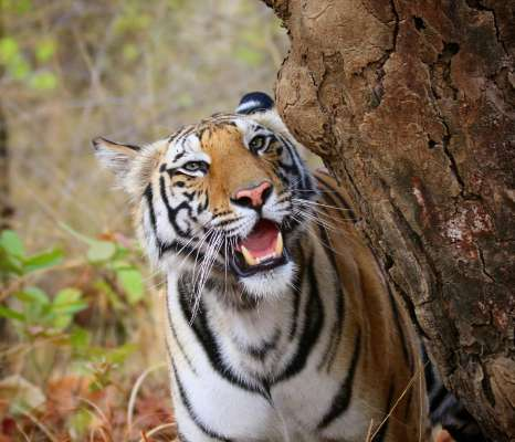 Royal Bengal Tiger brought from MP released into Odisha forest