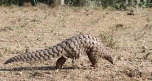 Inter-state pangolin smuggling racket busted in Odisha, two arrested