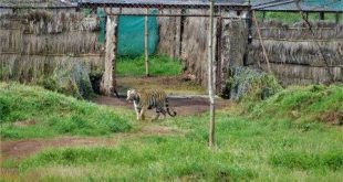 Tigress Sundari released into Satkosia Tiger Reserve