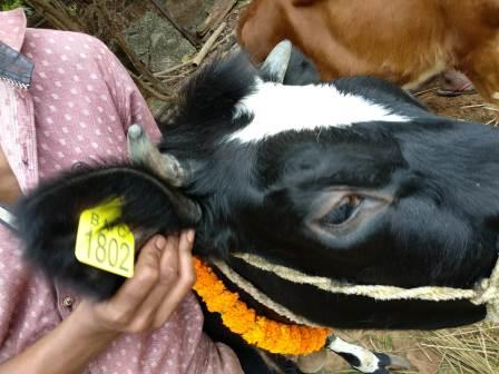 BMC starts ear tagging of cattle to stop cattle menace on roads