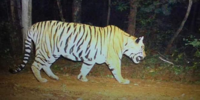 Carcass of tiger with head severed found in Debrigarh Wildlife Sanctuary