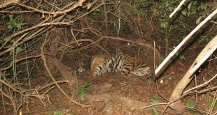 Tiger translocated from Madhya Pradesh to Odisha dies