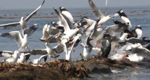 Annual bird census to begin in Chilika Lake on Jan 5