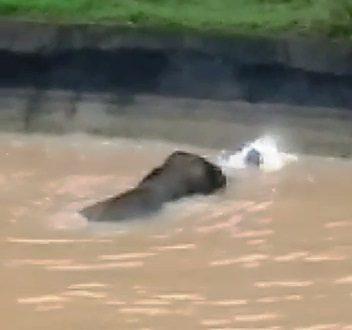 Wild elephant stuck in Rengali canal at Odisha's Muktapasi