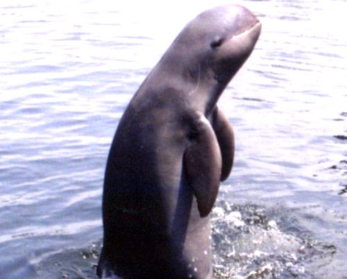 IIT Madras helps Chilika Lake to triple Irrawaddy Dolphin