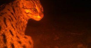 Chilika gets fishing cat as ambassador