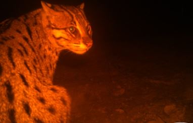 Chilika gets fishing cat as ambassador