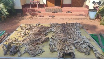 Leopard hides seized